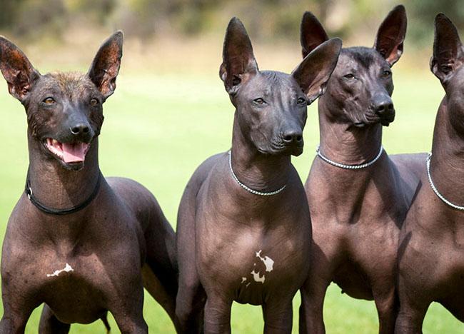 8 of the World's Rarest Dog Breeds