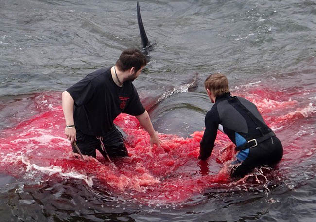BUTCHERED IN COLD BLOOD Mass whale slaughter in the Faroe Islands 2018